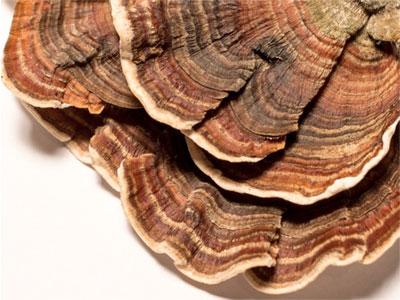 Coriolus Mushroom